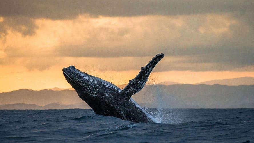 Прыжок горбатого кита